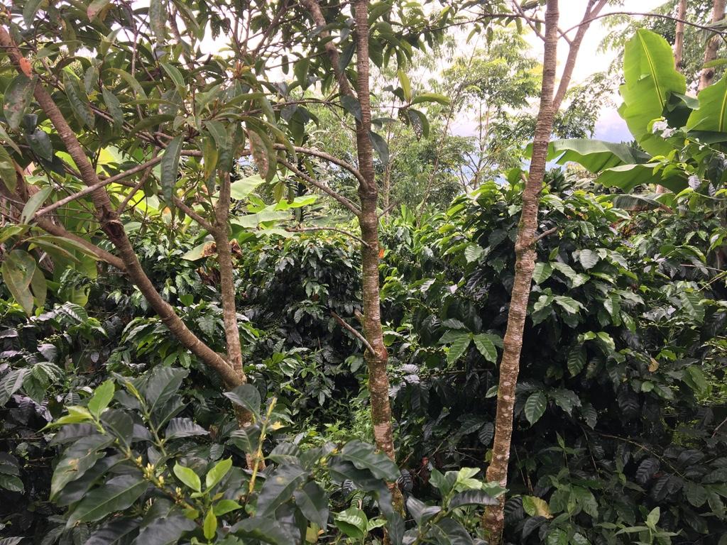 Honduras koffieplantage Gaia bio fairtrade koffie origine raf coffee Gent