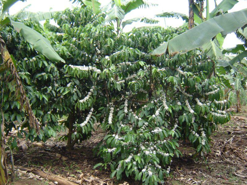 Uganda koffieplantage origine raf coffee gent bio