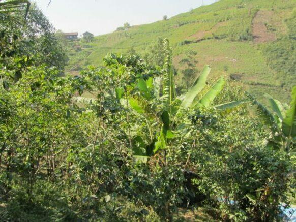 biokoffie uit Congo te koop in koffiebonen in Gent