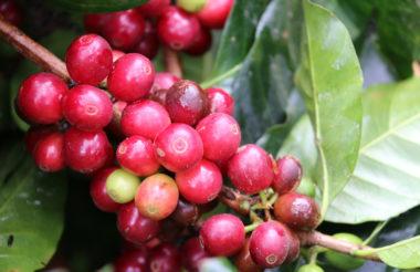 espresso koffie bonen origine gent honduras indonesia kivu uganda coffee