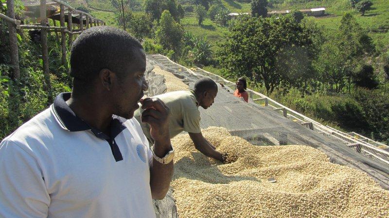 Koffie droogt in Kivu