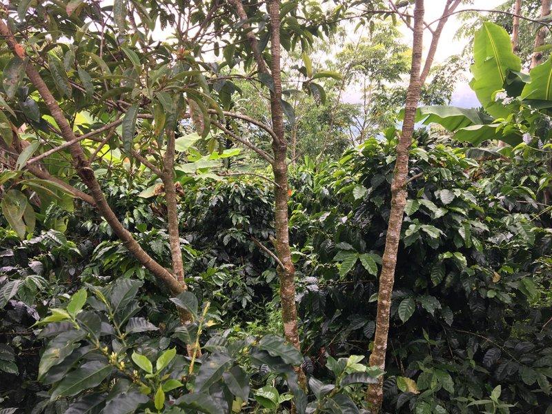 Koffieplantage in Honduras