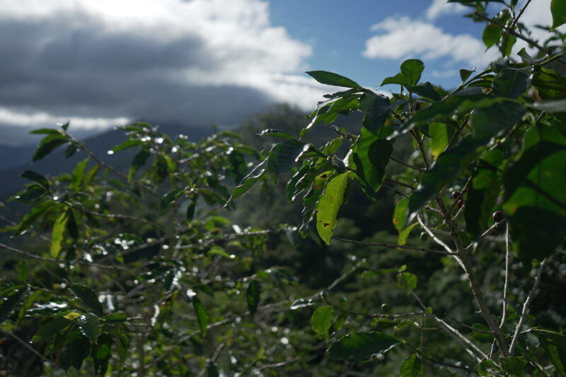 koffie mexico plantage