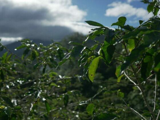 koffie mexico plantage koffiebonen vers gebrand bio specialty Gent