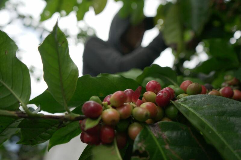 koffie magarogype